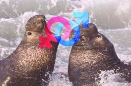 Elefanti marini cambiano sesso