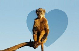 I problemi amorosi del babbuino