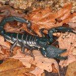 Scorpione gigante delle foreste (Heterometrus swammerdami)