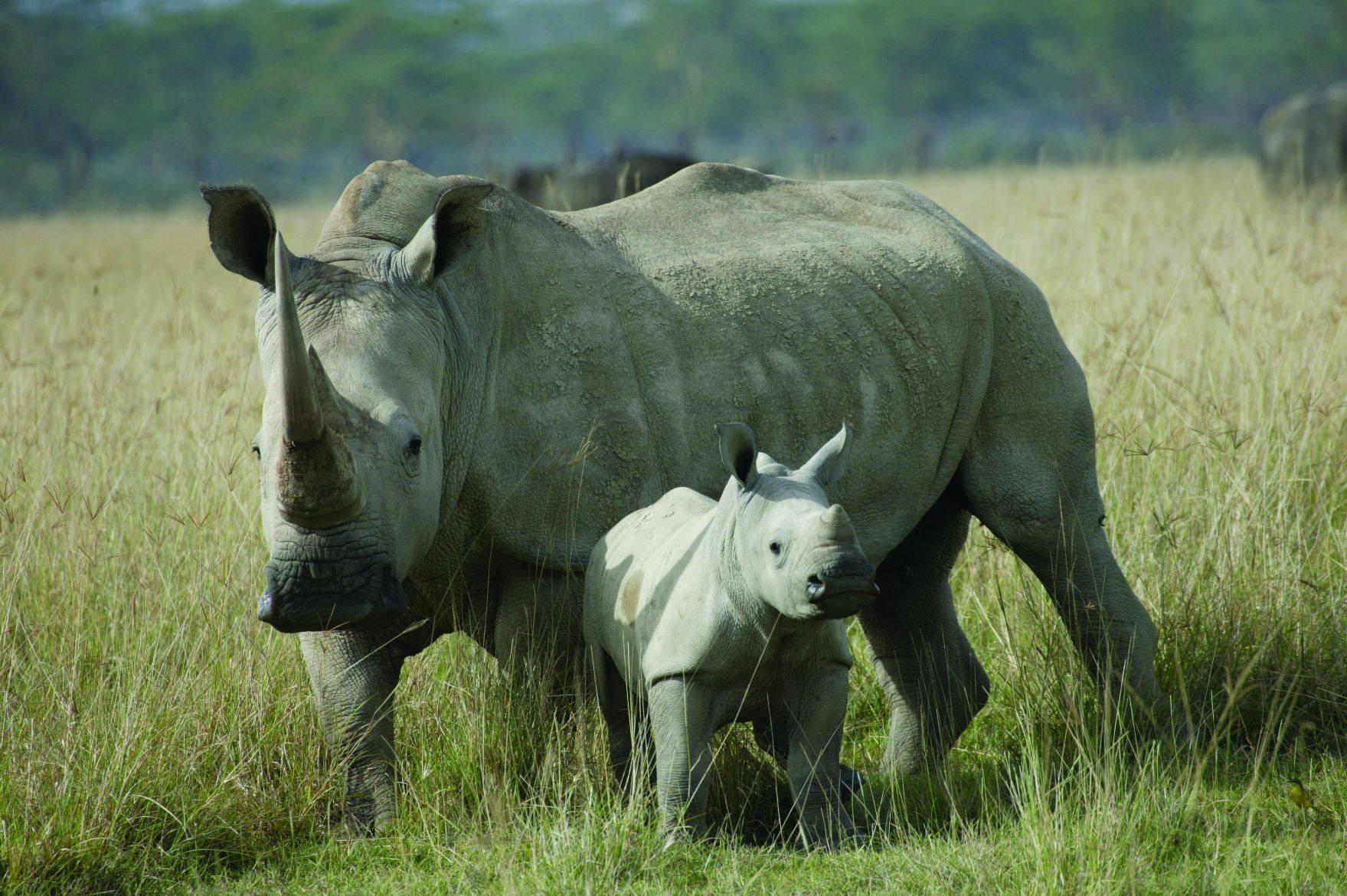 rinoceronte_corna